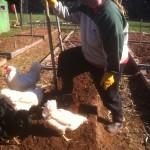 Gardening Chickens