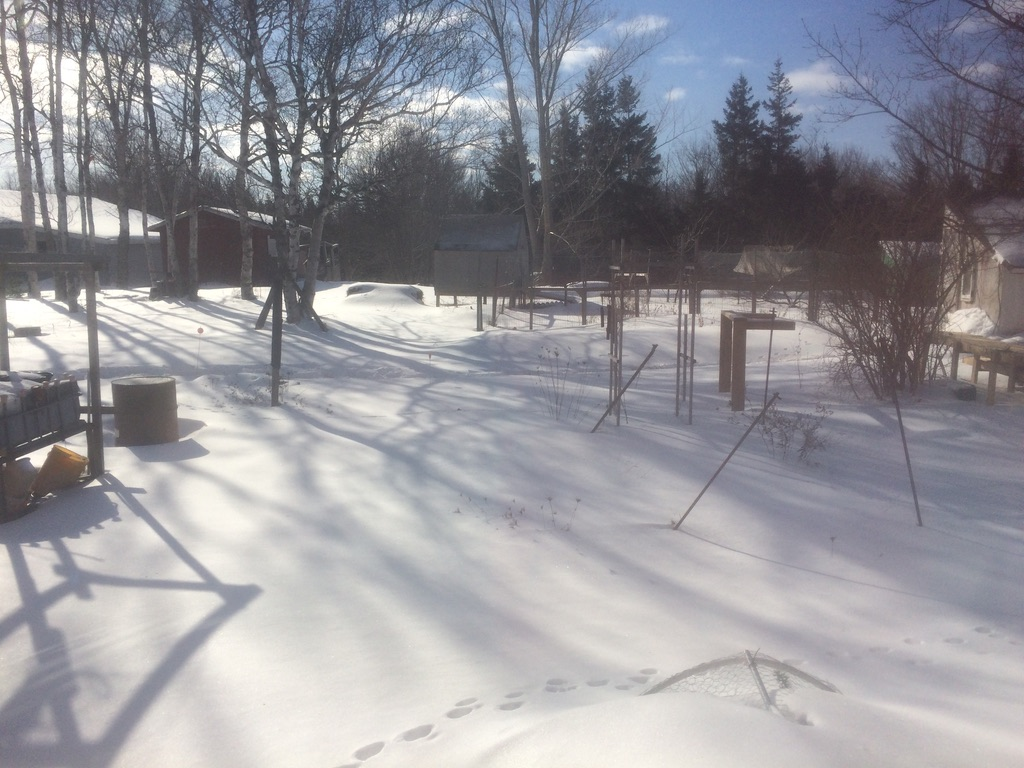 Snowy backyard, Morell, PE.  Chicken coop is buttoned up tight against the cold, -18c.  Not great backyard aquaponics weather.