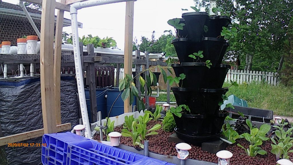 Early July, 2020, Aquaponics system grow tower, media bed and grow-pipes.